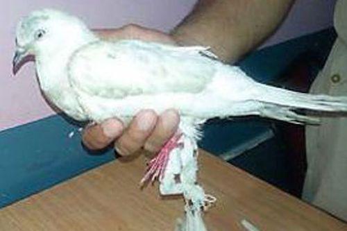 PigeonPakistani